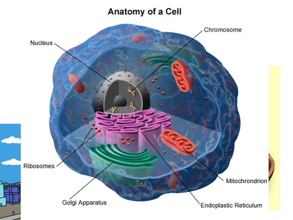 mitochondrie (tzv. buněčné elektrárny – vytváří se zde energie nutná k životu)
