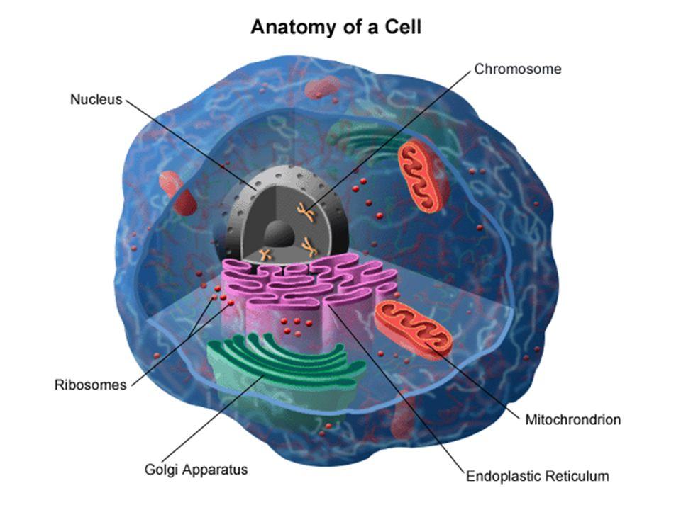 endoplazmatické retikulum a Golgiho aparát