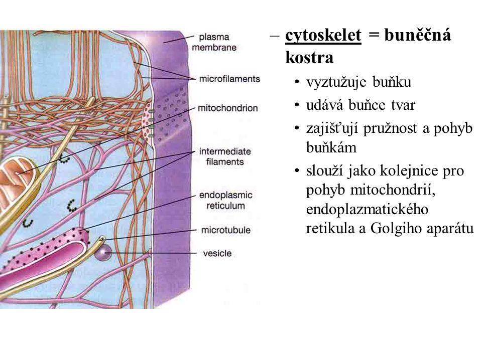 cytoskelet = buněčná kostra
