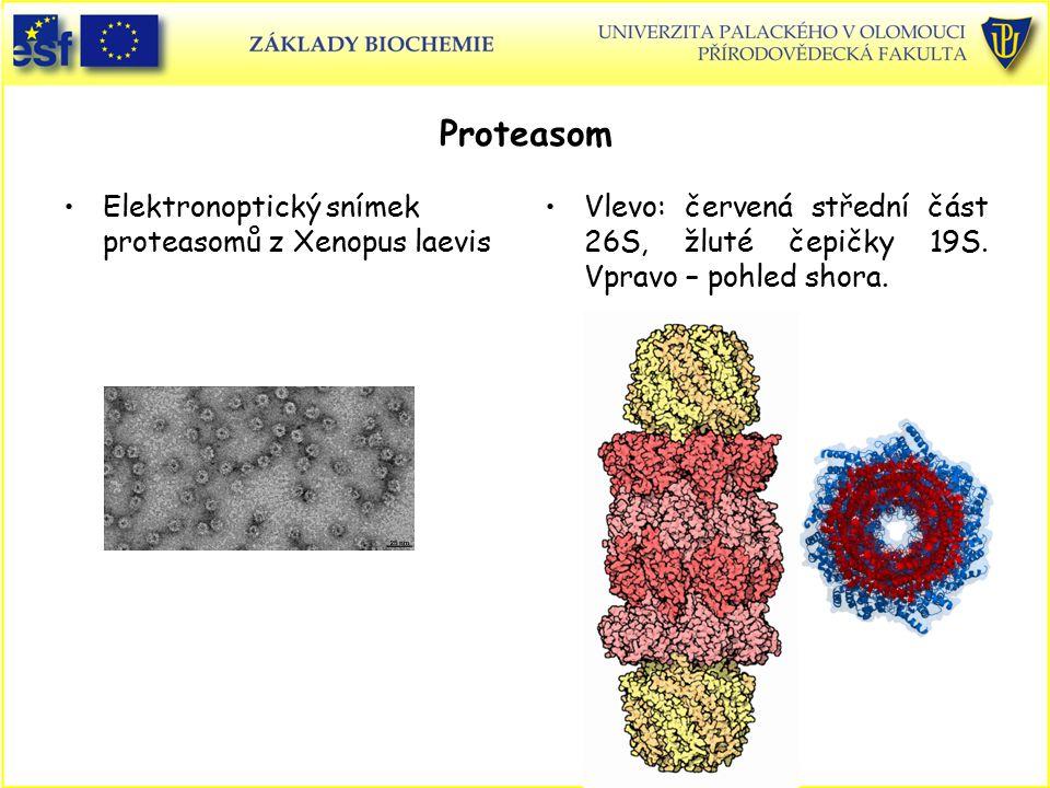Proteasom Elektronoptický snímek proteasomů z Xenopus laevis