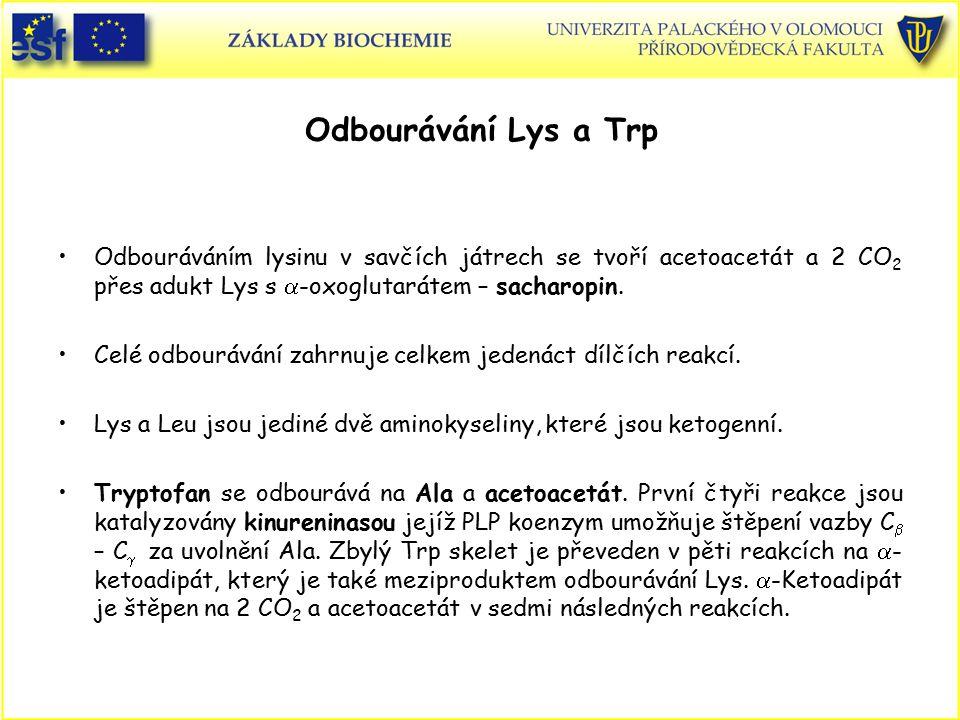 Odbourávání Lys a Trp Odbouráváním lysinu v savčích játrech se tvoří acetoacetát a 2 CO2 přes adukt Lys s a-oxoglutarátem – sacharopin.