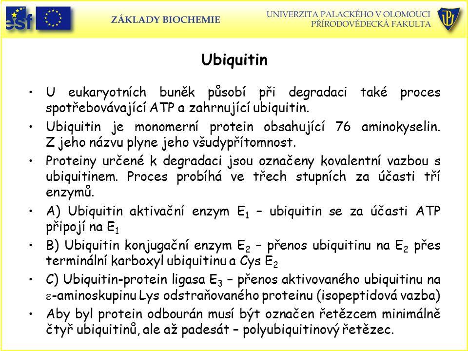Ubiquitin U eukaryotních buněk působí při degradaci také proces spotřebovávající ATP a zahrnující ubiquitin.