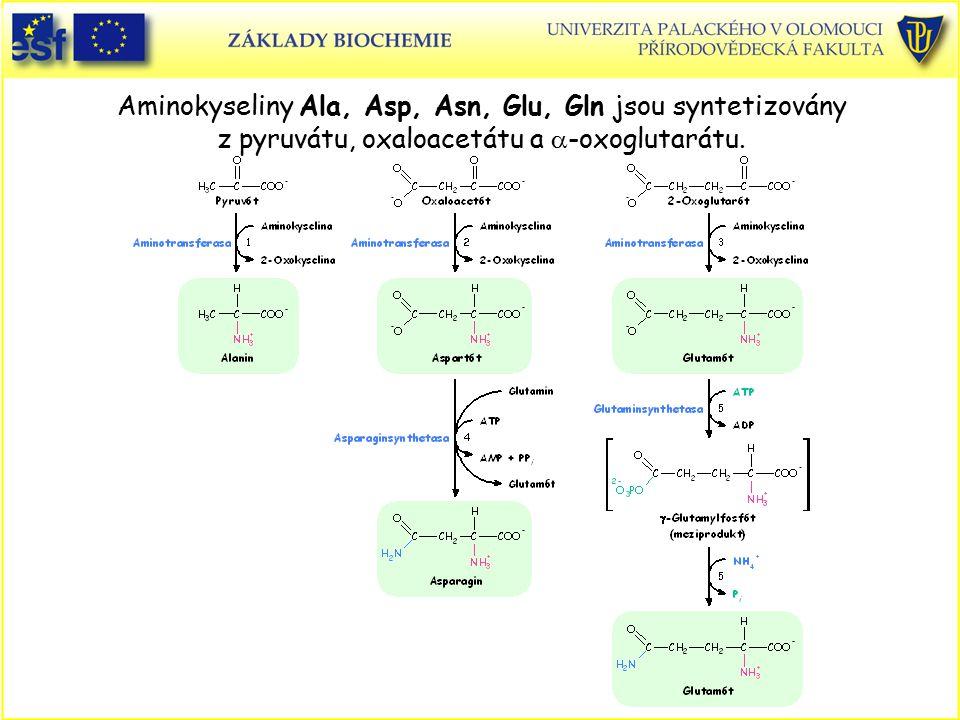 Aminokyseliny Ala, Asp, Asn, Glu, Gln jsou syntetizovány z pyruvátu, oxaloacetátu a a-oxoglutarátu.