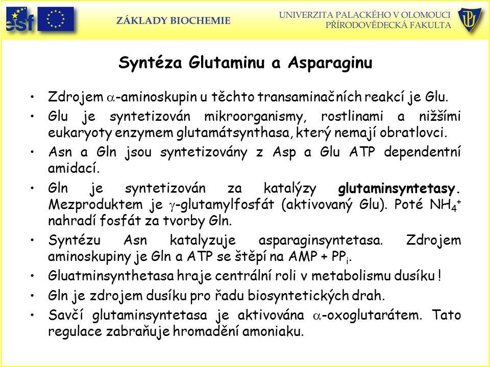 Syntéza Glutaminu a Asparaginu