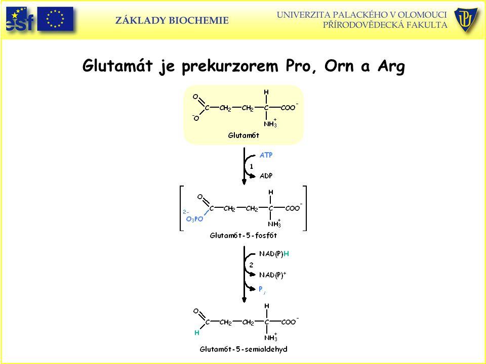 Glutamát je prekurzorem Pro, Orn a Arg