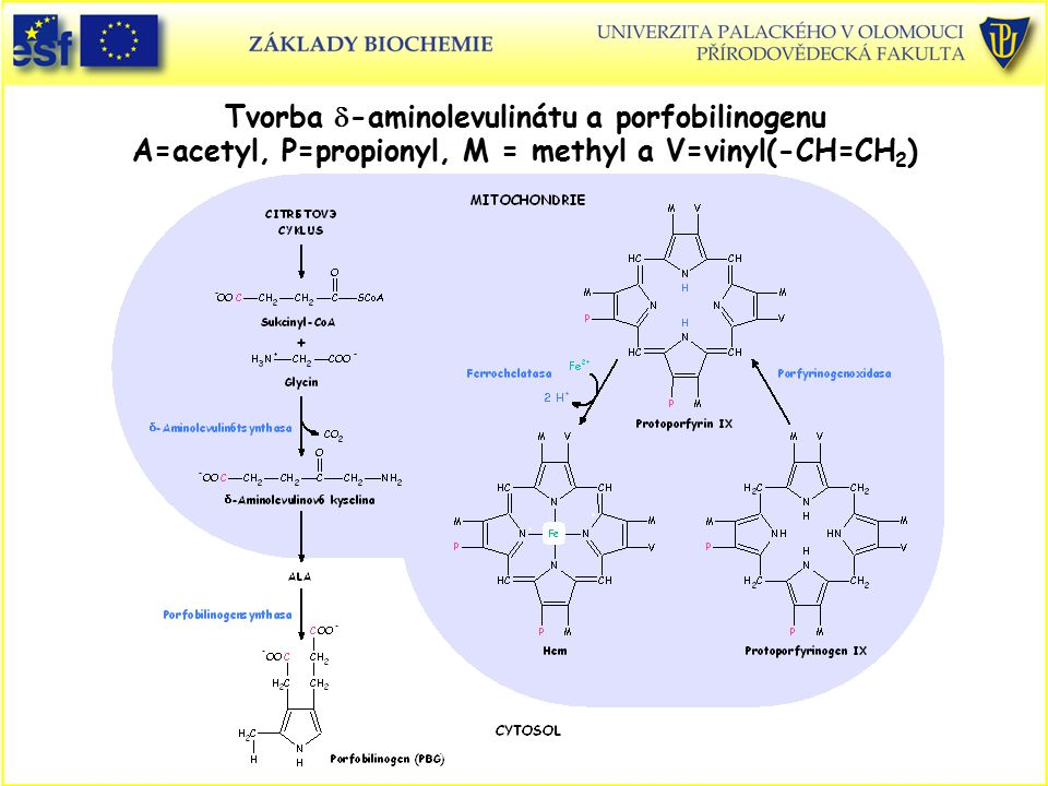 Tvorba d-aminolevulinátu a porfobilinogenu A=acetyl, P=propionyl, M = methyl a V=vinyl(-CH=CH2)