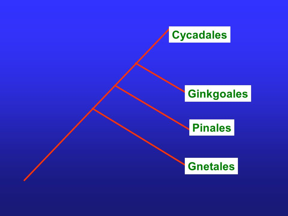Cycadales Ginkgoales Pinales Gnetales