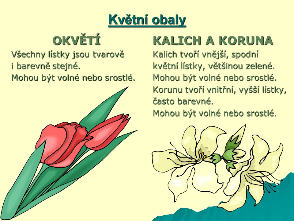 Květní obaly OKVĚTÍ KALICH A KORUNA Všechny lístky jsou tvarově