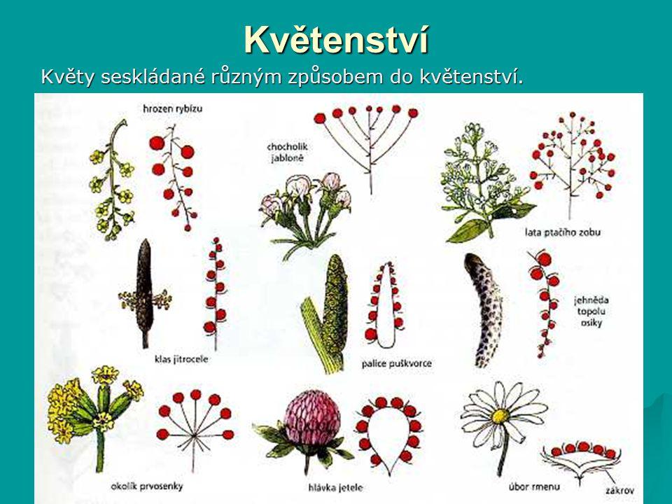 Květenství Květy seskládané různým způsobem do květenství.