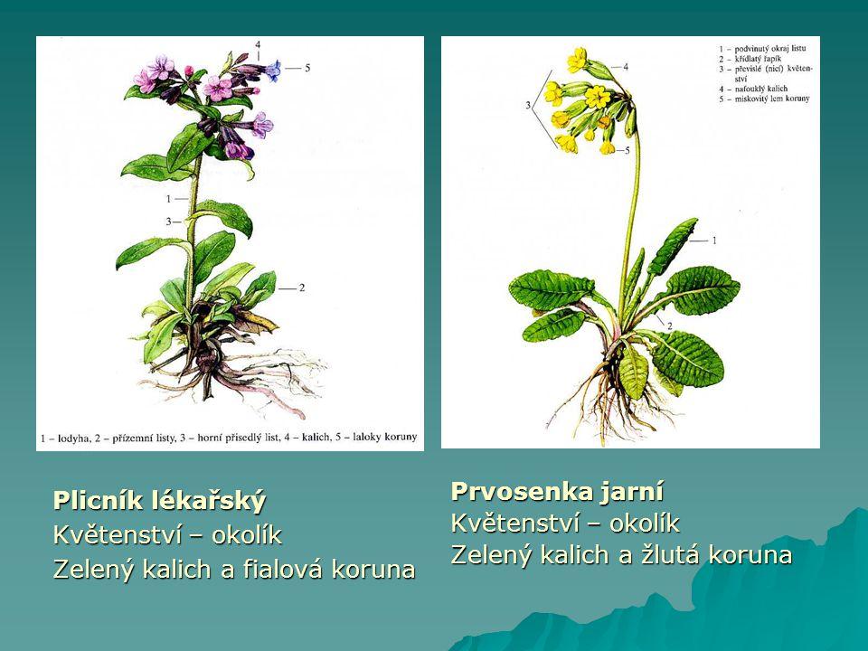 Plicník lékařský Květenství – okolík. Zelený kalich a fialová koruna. Prvosenka jarní. Květenství – okolík.