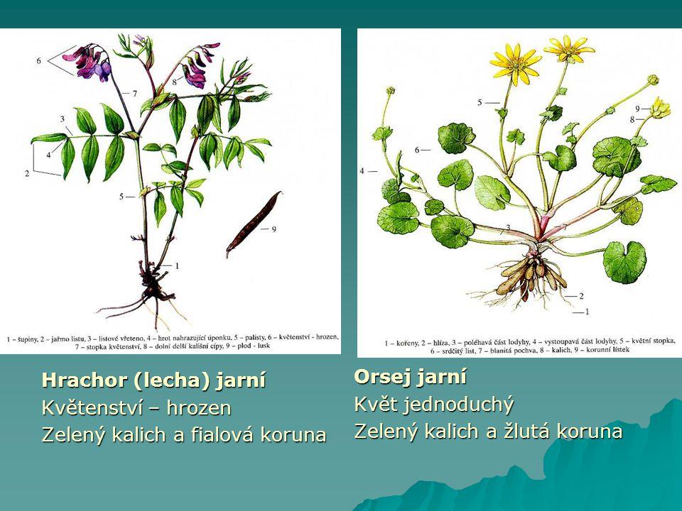 Hrachor (lecha) jarní Květenství – hrozen. Zelený kalich a fialová koruna. Orsej jarní. Květ jednoduchý.