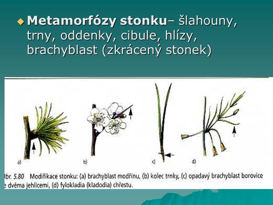 Metamorfózy stonku– šlahouny, trny, oddenky, cibule, hlízy, brachyblast (zkrácený stonek)