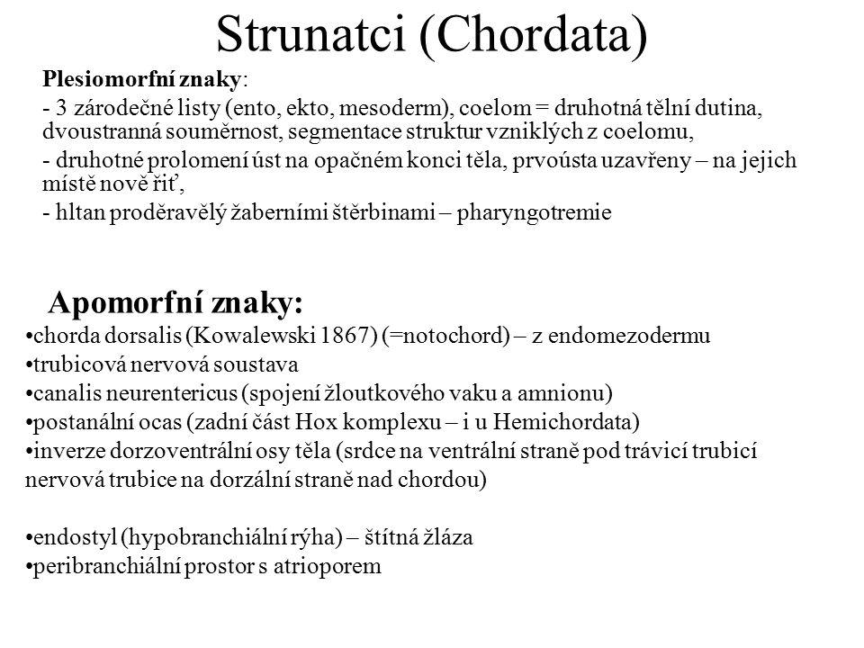 Strunatci (Chordata) Plesiomorfní znaky: