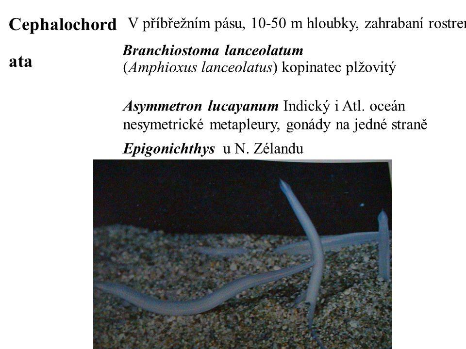 Cephalochordata V příbřežním pásu, 10-50 m hloubky, zahrabaní rostrem nahoru. Branchiostoma lanceolatum.