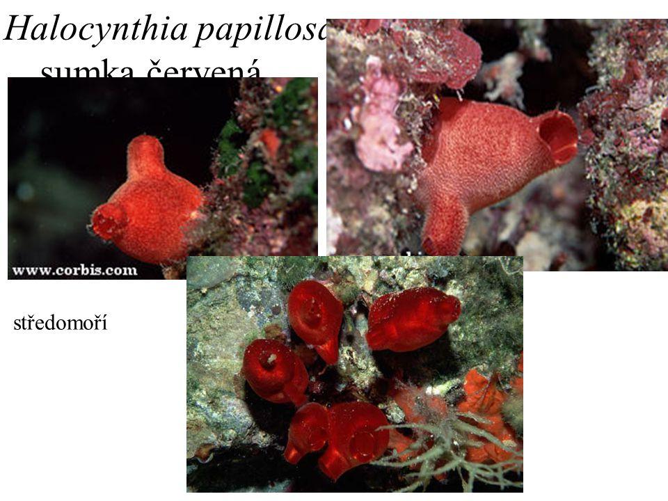 3. Halocynthia papillosa