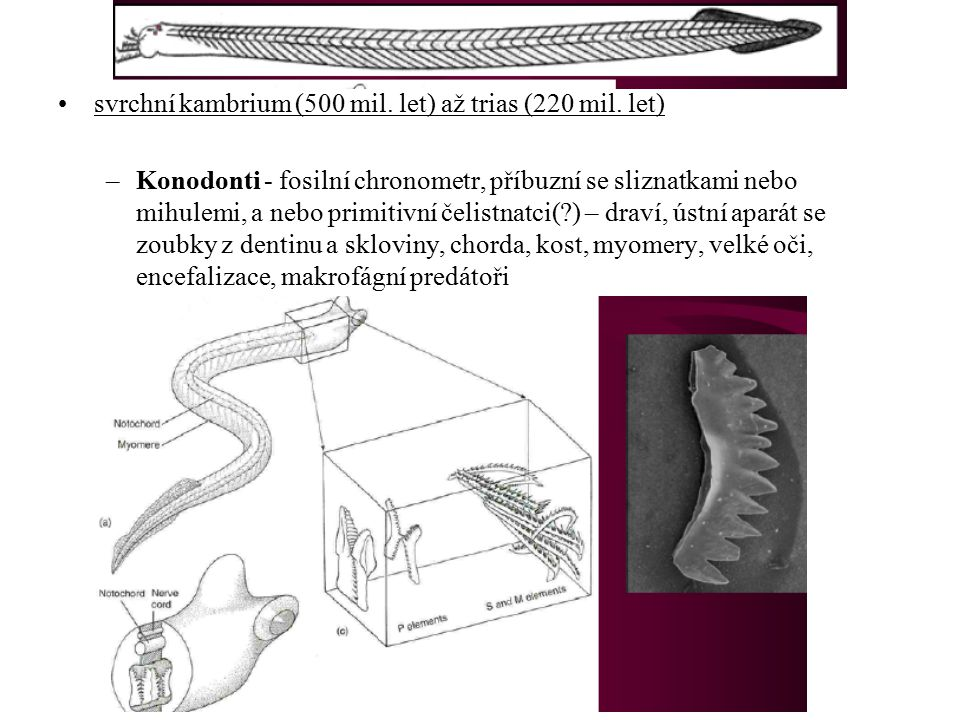 svrchní kambrium (500 mil. let) až trias (220 mil. let)