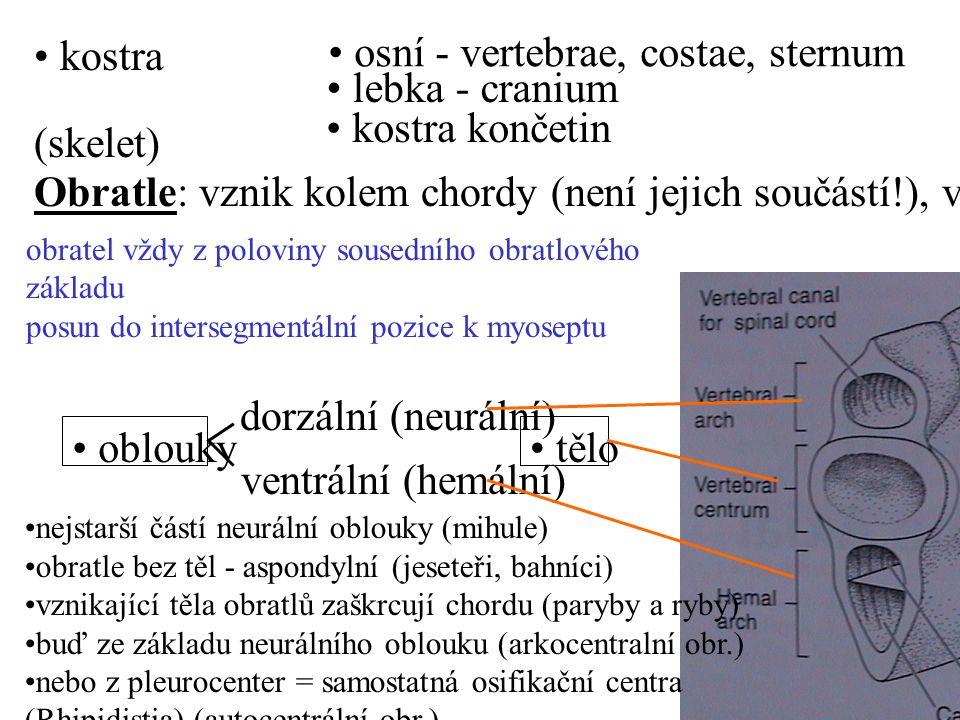osní - vertebrae, costae, sternum lebka - cranium kostra končetin