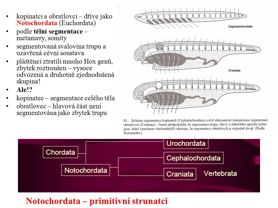 Notochordata – primitivní strunatci