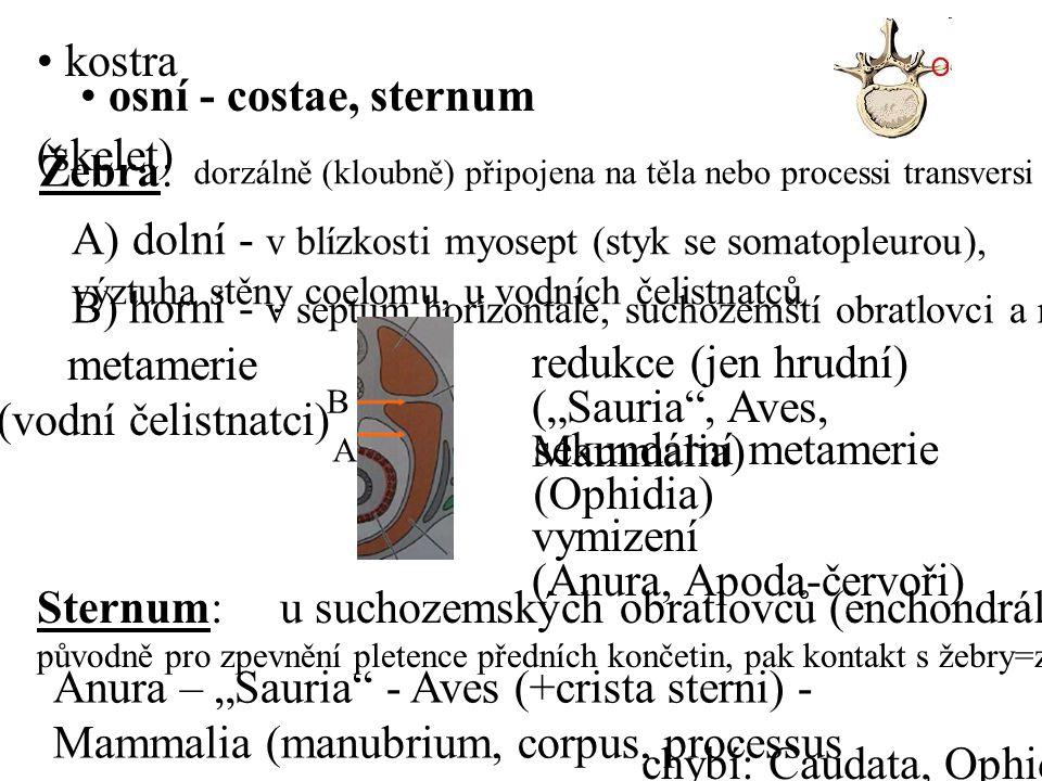 A) dolní - v blízkosti myosept (styk se somatopleurou),