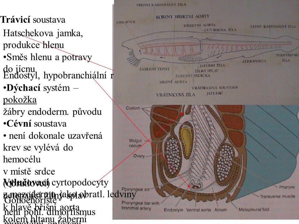 Trávicí soustava Hatschekova jamka, produkce hlenu. Směs hlenu a potravy. do jícnu. Endostyl, hypobranchiální rýha.