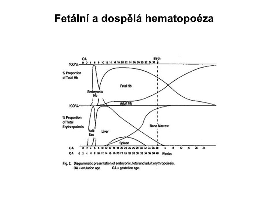 Fetální a dospělá hematopoéza