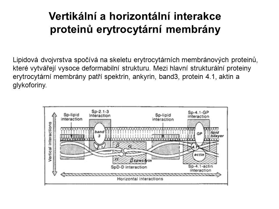 Vertikální a horizontální interakce proteinů erytrocytární membrány