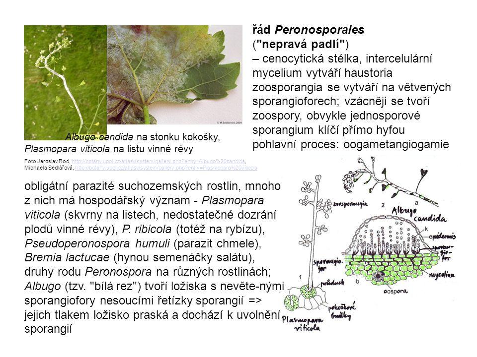 řád Peronosporales ( nepravá padlí )