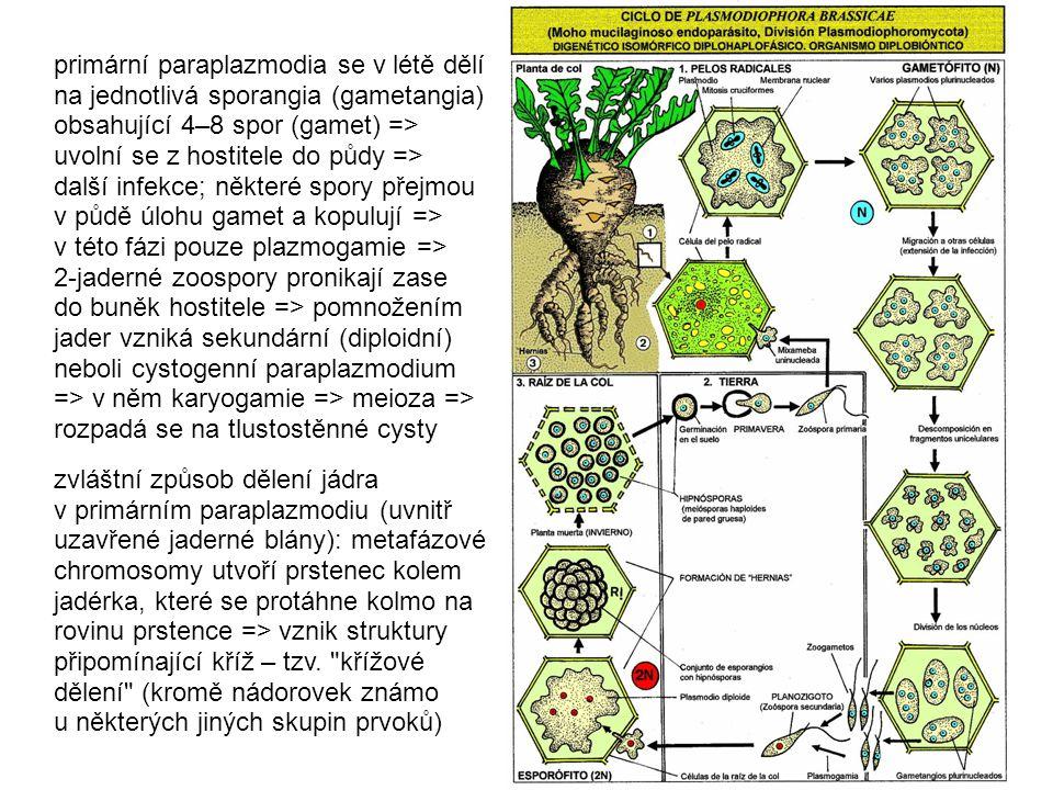 primární paraplazmodia se v létě dělí na jednotlivá sporangia (gametangia) obsahující 4–8 spor (gamet) => uvolní se z hostitele do půdy => další infekce; některé spory přejmou v půdě úlohu gamet a kopulují => v této fázi pouze plazmogamie =>