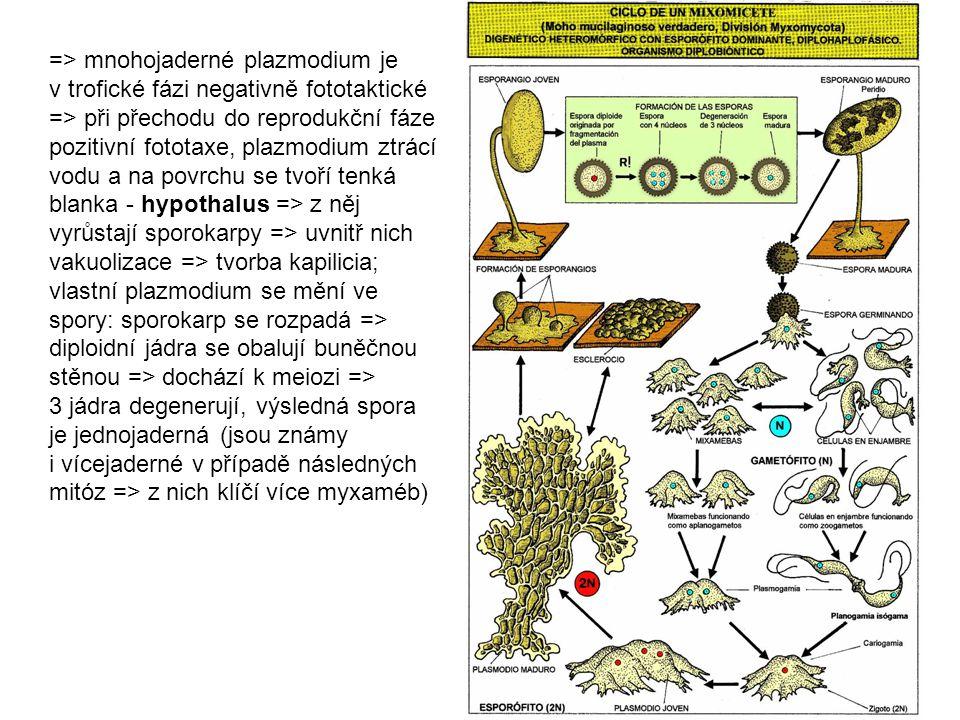 => mnohojaderné plazmodium je v trofické fázi negativně fototaktické => při přechodu do reprodukční fáze pozitivní fototaxe, plazmodium ztrácí vodu a na povrchu se tvoří tenká blanka - hypothalus => z něj vyrůstají sporokarpy => uvnitř nich vakuolizace => tvorba kapilicia; vlastní plazmodium se mění ve spory: sporokarp se rozpadá => diploidní jádra se obalují buněčnou stěnou => dochází k meiozi => 3 jádra degenerují, výsledná spora je jednojaderná (jsou známy i vícejaderné v případě následných mitóz => z nich klíčí více myxaméb)