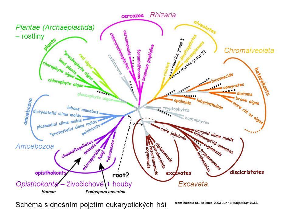 Rhizaria Plantae (Archaeplastida) – rostliny. Chromalveolata. Amoebozoa. Opisthokonta – živočichové + houby.