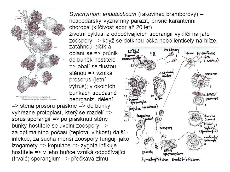 Synchytrium endobioticum (rakovinec bramborový) – hospodářsky významný parazit, přísně karanténní choroba (klíčivost spor až 20 let) životní cyklus: z odpočívajících sporangií vyklíčí na jaře zoospory => když se dotknou očka nebo lenticely na hlíze,