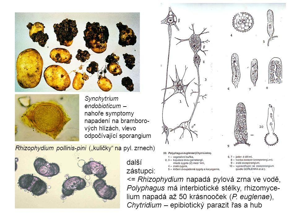Synchytrium endobioticum – nahoře symptomy napadení na bramboro-vých hlízách, vlevo odpočívající sporangium