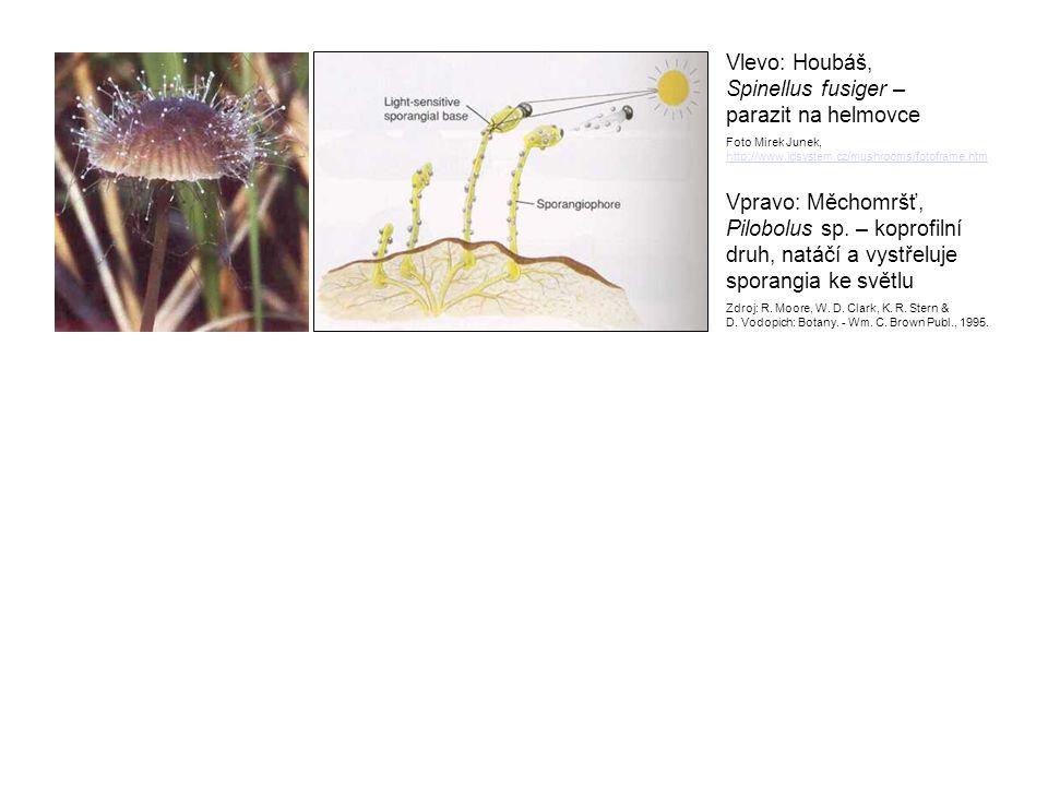 Vlevo: Houbáš, Spinellus fusiger – parazit na helmovce