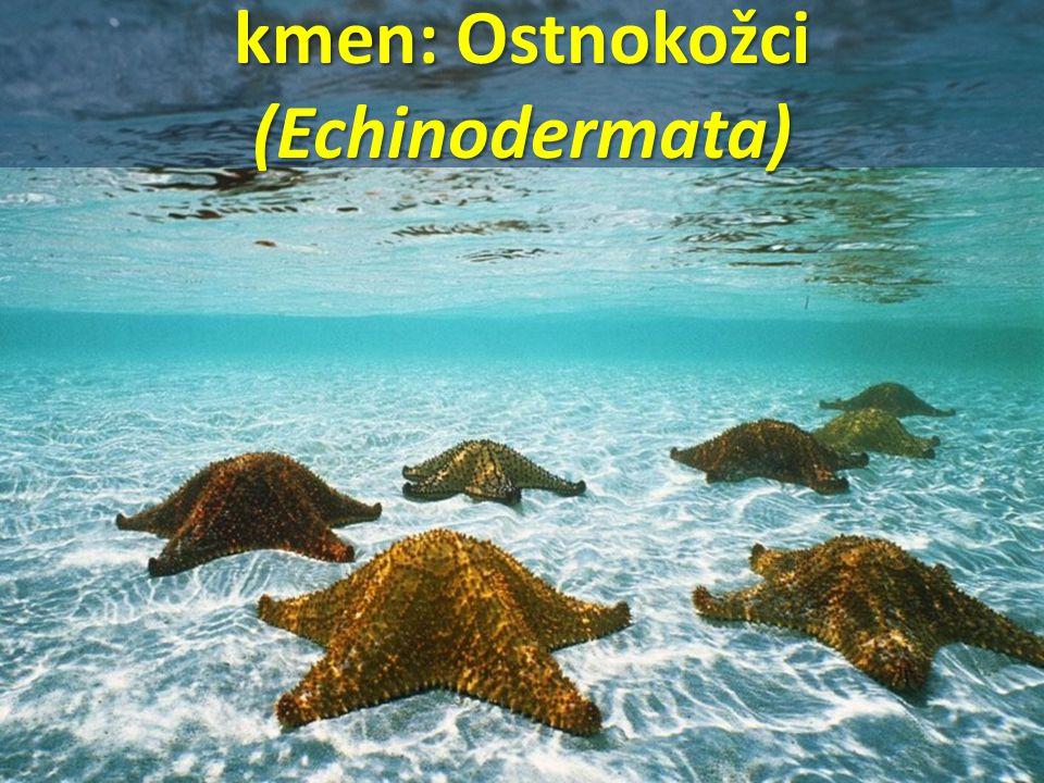 kmen: Ostnokožci (Echinodermata)