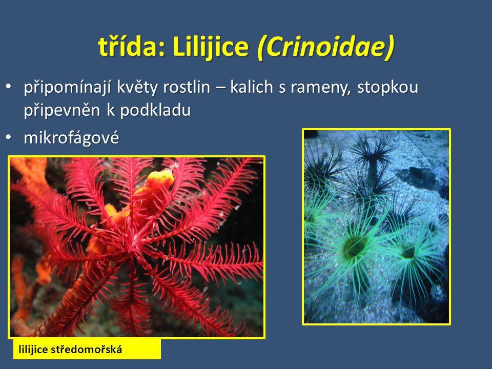 třída: Lilijice (Crinoidae)