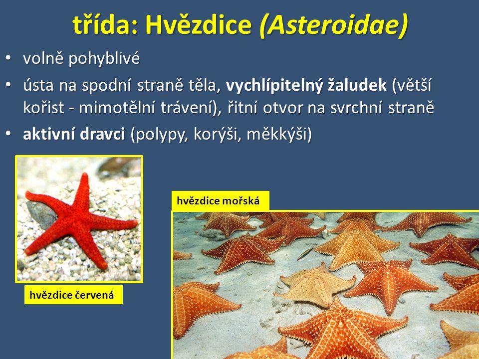 třída: Hvězdice (Asteroidae)