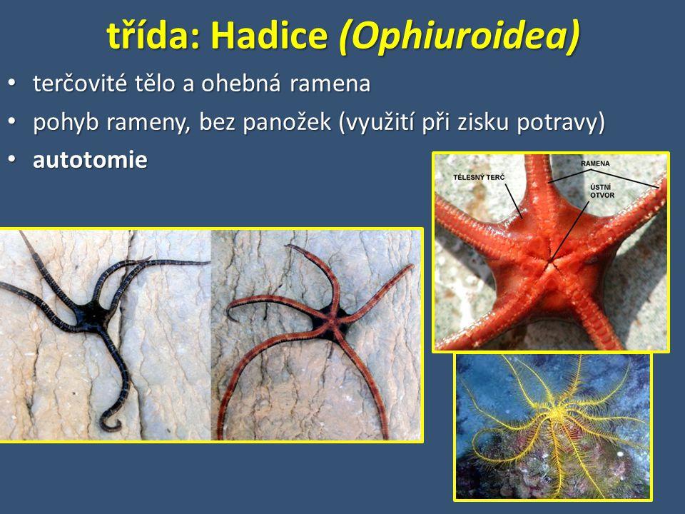 třída: Hadice (Ophiuroidea)