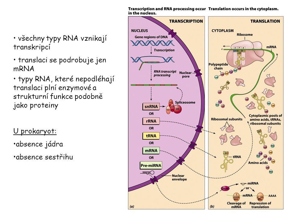 všechny typy RNA vznikají transkripcí