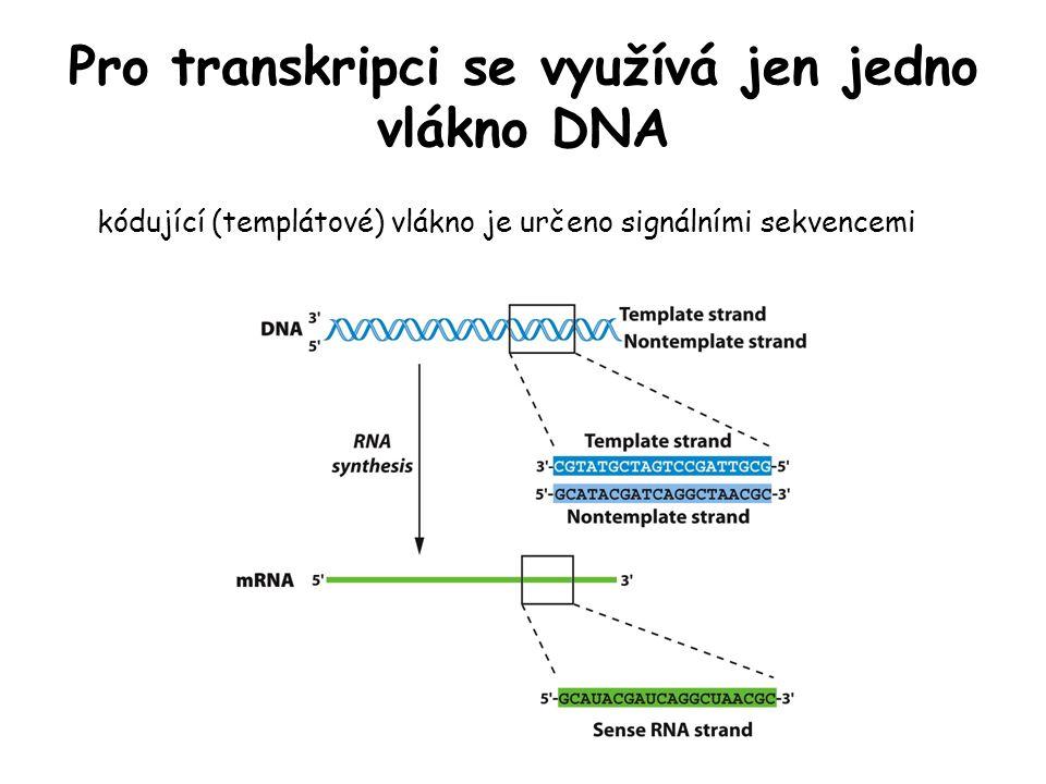 Pro transkripci se využívá jen jedno vlákno DNA