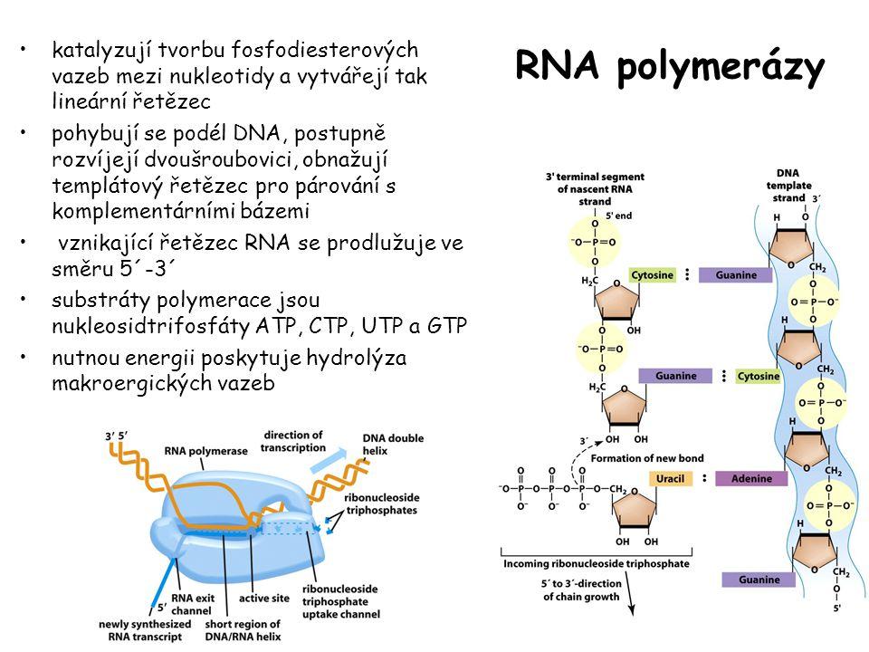 RNA polymerázy katalyzují tvorbu fosfodiesterových vazeb mezi nukleotidy a vytvářejí tak lineární řetězec.