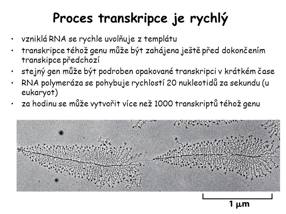 Proces transkripce je rychlý