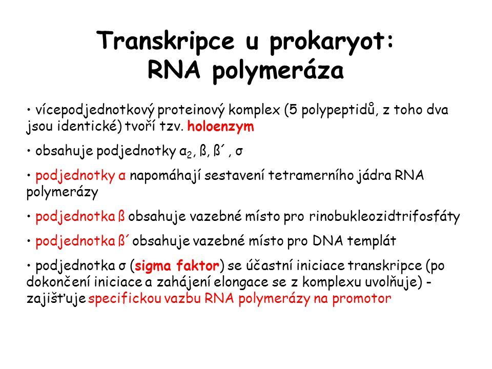 Transkripce u prokaryot: RNA polymeráza
