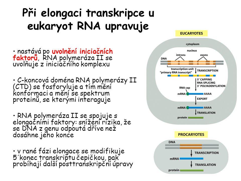 Při elongaci transkripce u eukaryot RNA upravuje