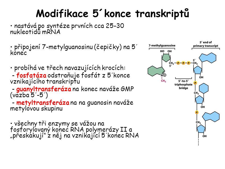 Modifikace 5´konce transkriptů