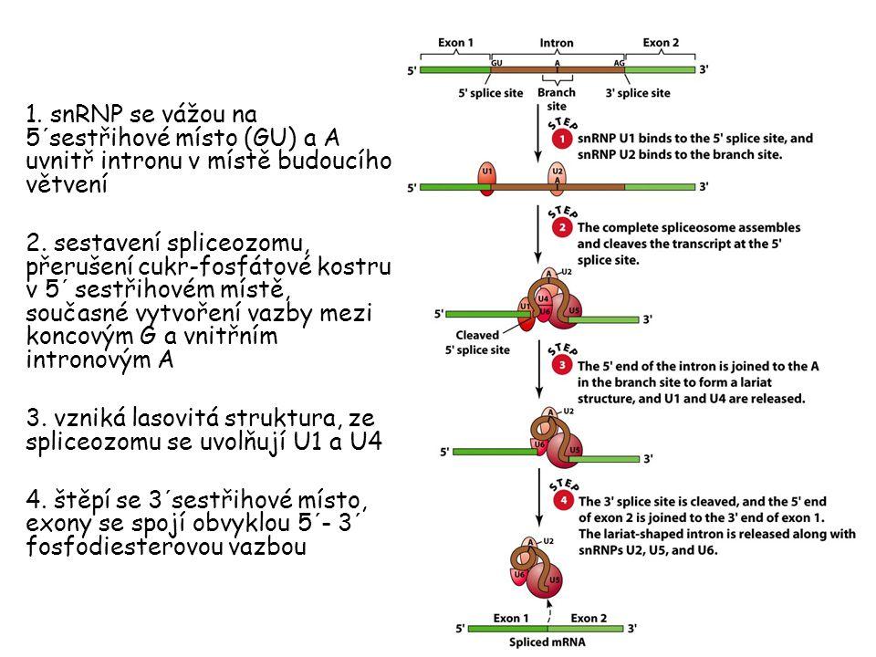 1. snRNP se vážou na 5´sestřihové místo (GU) a A uvnitř intronu v místě budoucího větvení