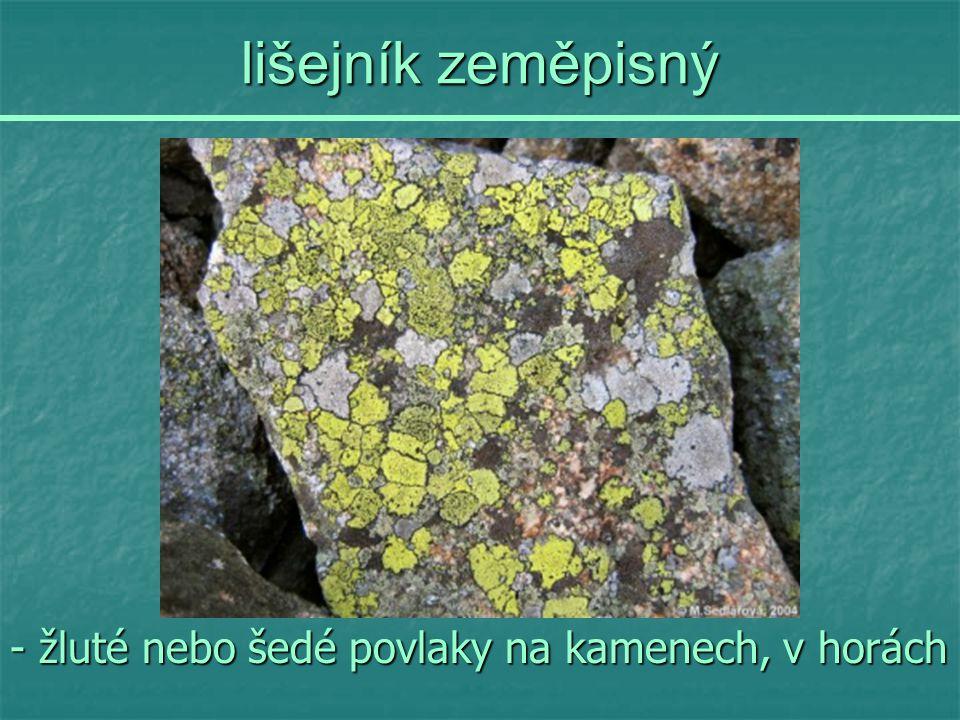 lišejník zeměpisný - žluté nebo šedé povlaky na kamenech, v horách