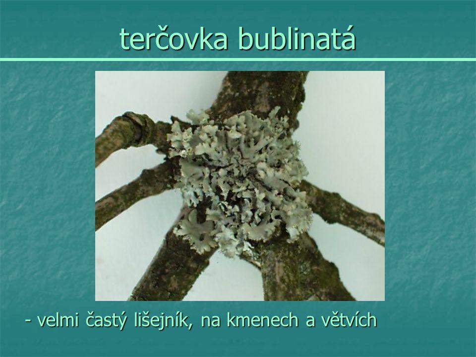 terčovka bublinatá - velmi častý lišejník, na kmenech a větvích