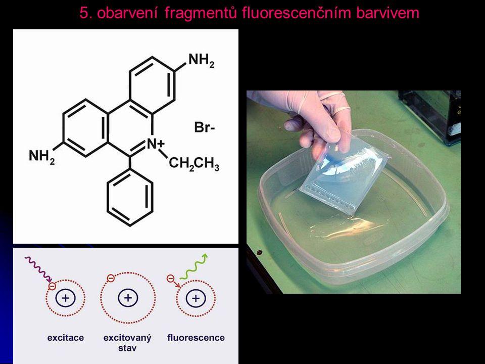 5. obarvení fragmentů fluorescenčním barvivem