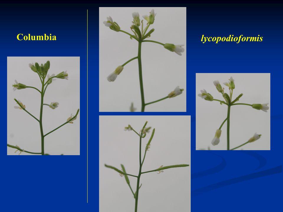 Columbia lycopodioformis