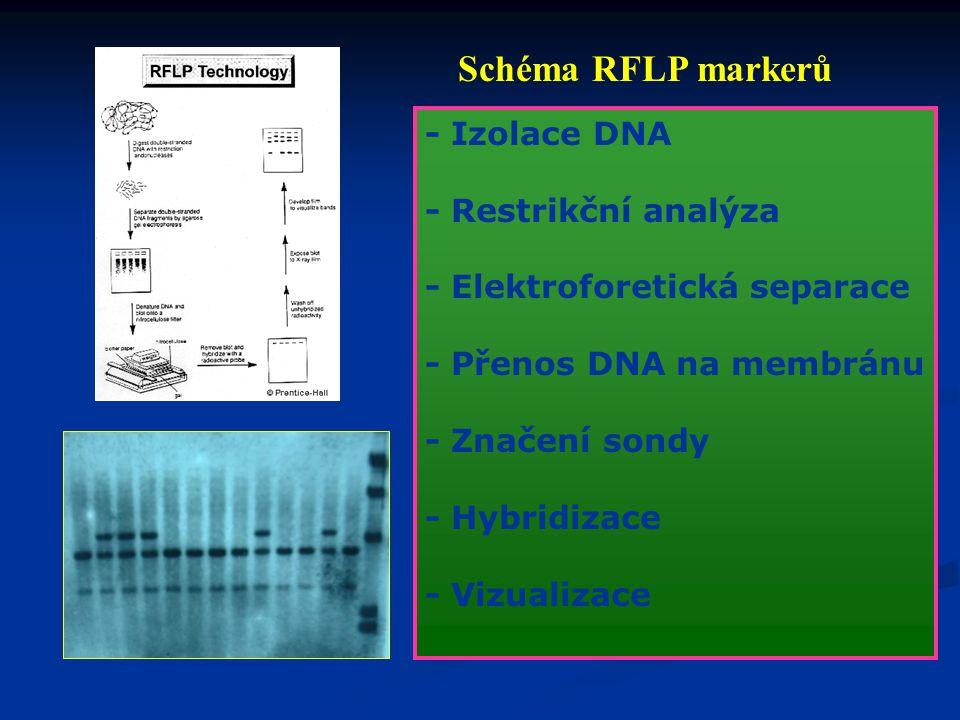 Schéma RFLP markerů - Izolace DNA - Restrikční analýza
